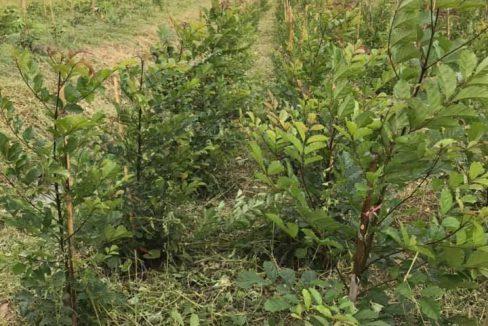 ขายด่วน!!ที่ดินปลูกไม้ยืนต้น2ปีไว้3-4,000 ต้น ขายเหมา2.4ล้าน